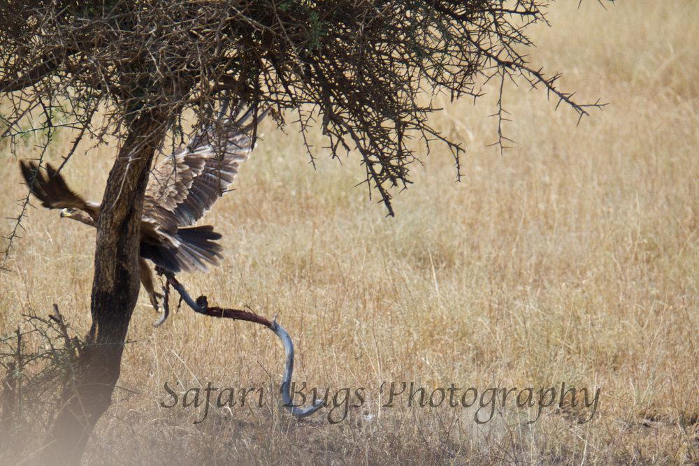 Tawny eagle catches a cobra.