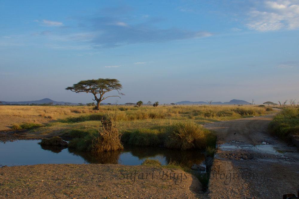 Safari Bugs Roving Bushtops (28).jpg