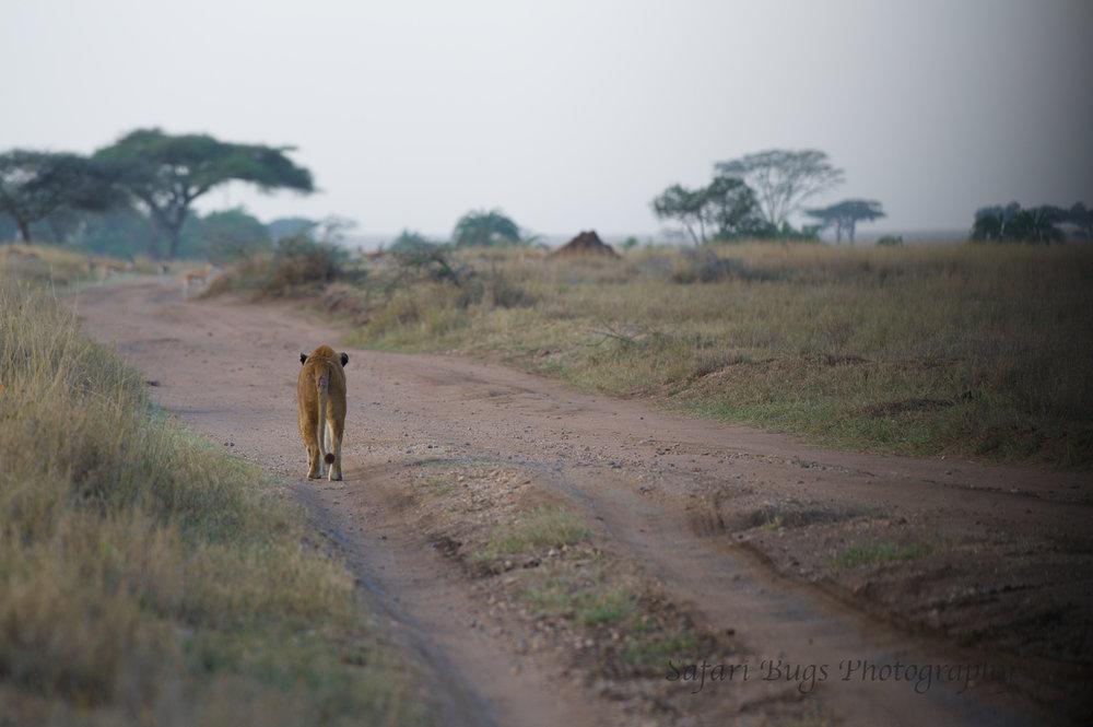 Safari Bugs Roving Bushtops (31).jpg