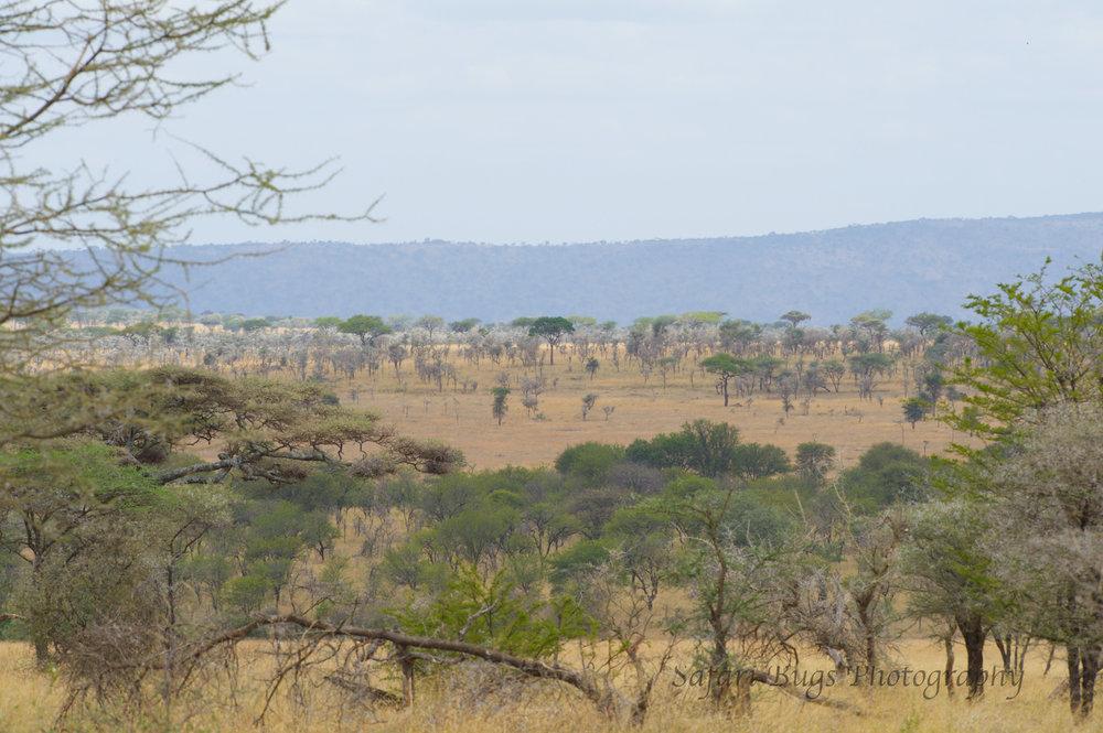 Safari Bugs Roving Bushtops (32).jpg