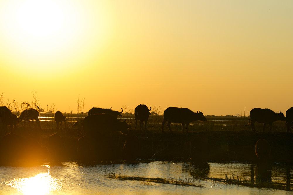 Chobe Game Lodge buffalo (6).jpg