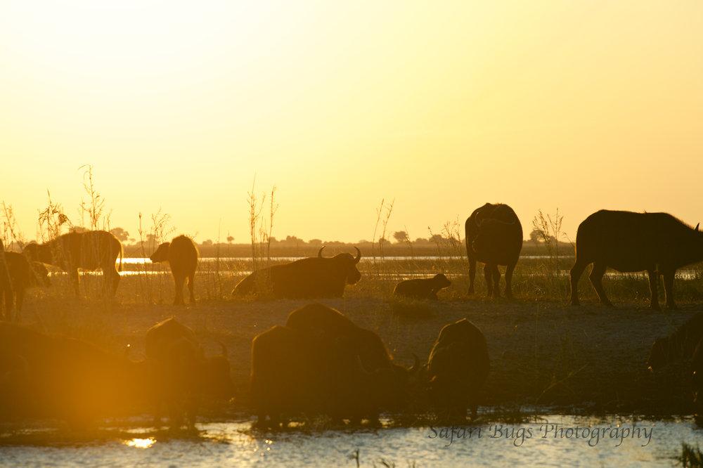 Chobe Game Lodge buffalo (7).jpg