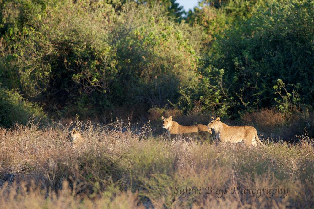 Chobe Game Lodge lion (2).jpg