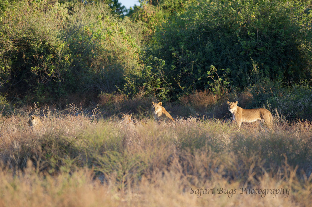 Chobe Game Lodge lion (3).jpg