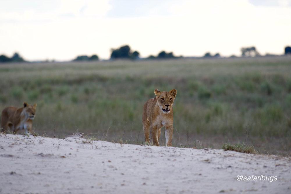Chobe Game Lodge Lions.jpg