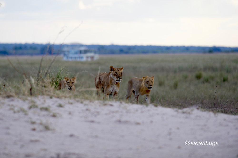 Chobe Game Lodge Lions2.jpg