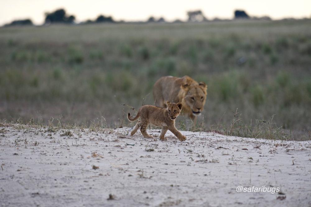 Chobe Game Lodge Lions6.jpg