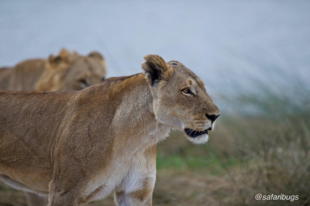 Chobe Game Lodge Lions8.jpg