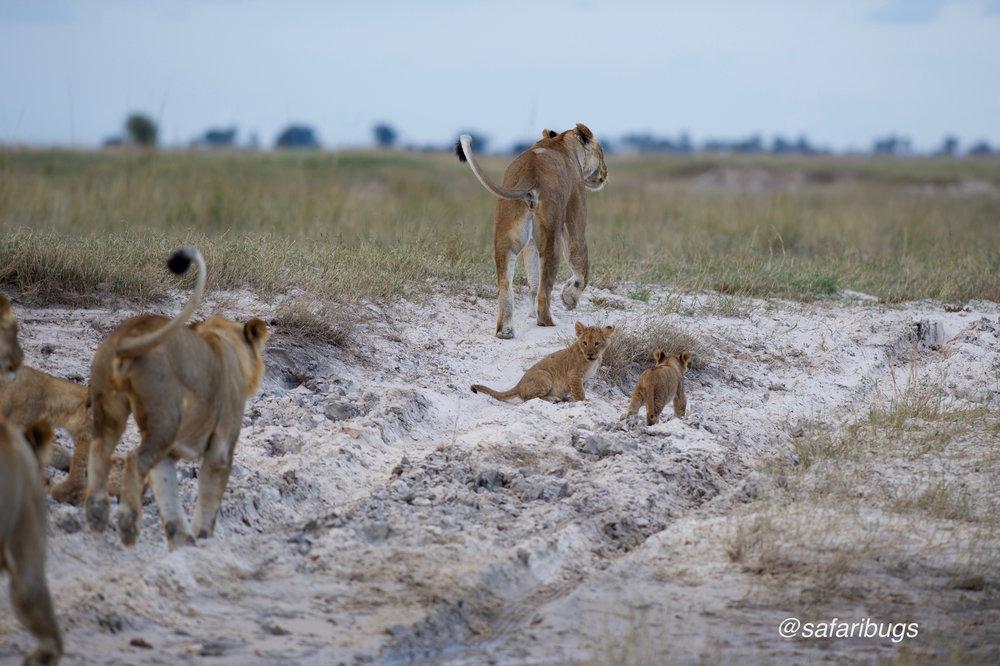 Chobe Game Lodge Lions10.jpg