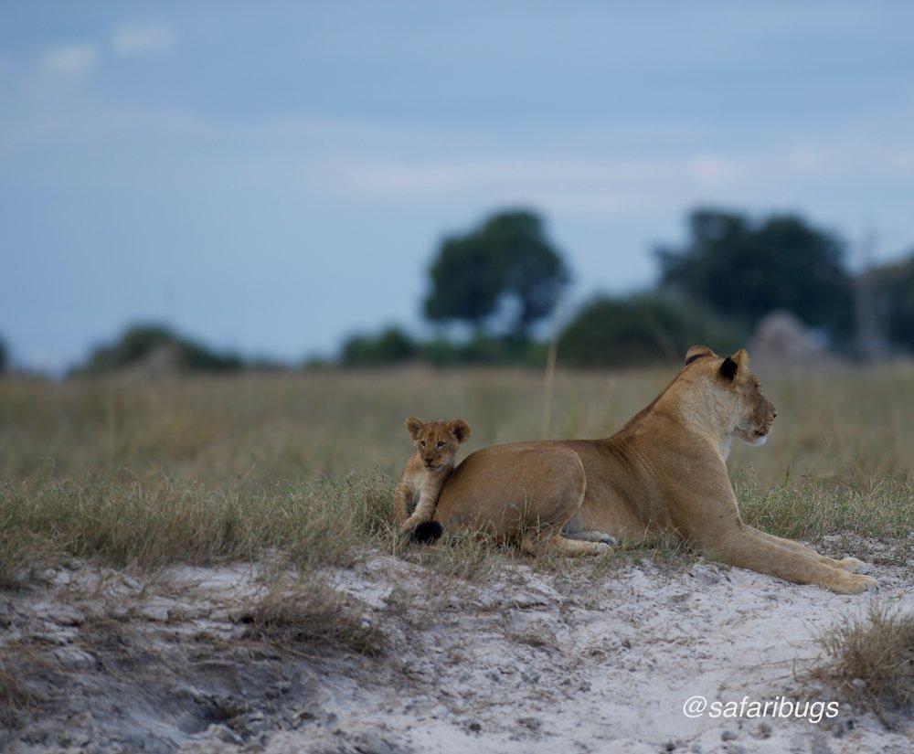Chobe Game Lodge Lions 16.jpg