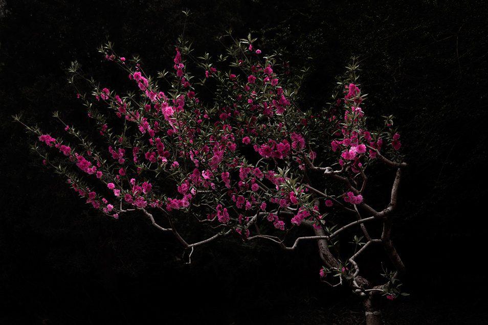 Wei, Shen. Peach Tree. 2014.