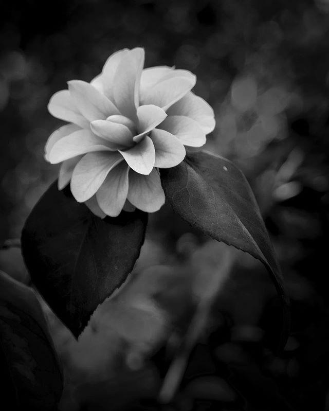 Camellia in monochrome. Thanks, @richardsilvius for the great inspiration!  #fujifilm_xseries #fujifilmxt1 #botanicalgardens #camelia #monochromatic