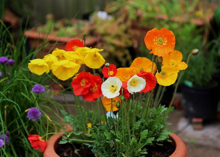 We also saw some pretty amazing poppies in another neighborhood garden. They looked something like this...