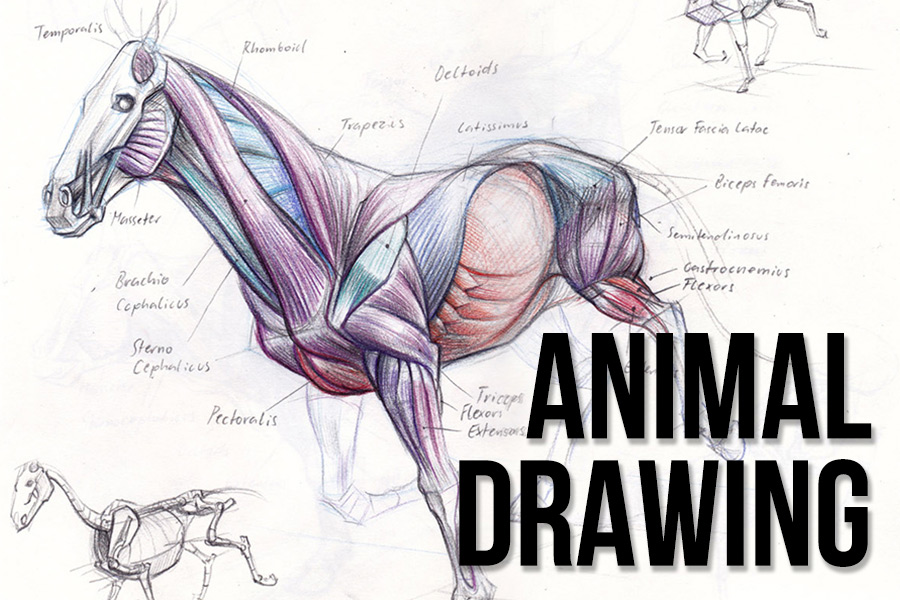 - Animal drawing emphasizes on developing an understanding of the anatomy of wildlife and domestic animals. Students will learn to construct quadruped skeletons as well as rendering fur and reptilian skin..