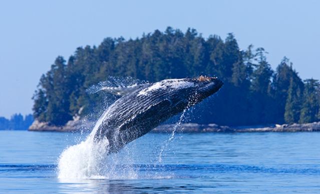Baleine au fleuve Saint-Laurent