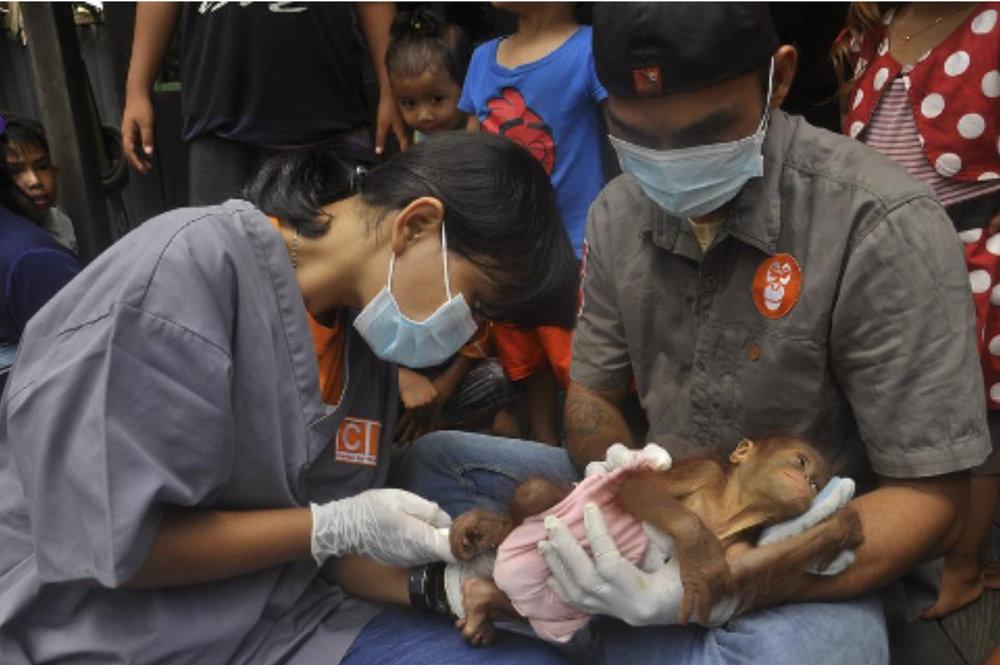 De dierenart van APE Guardian, DR. Elizabeth Riana examineert baby Popi meteen tijdens de redding.