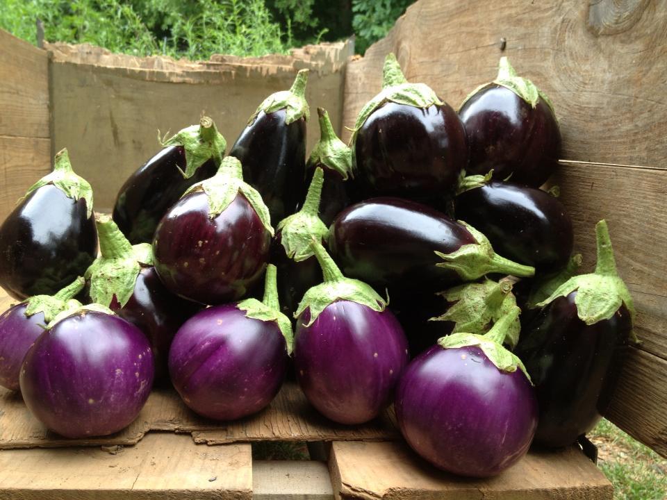 Suraj and Ophelia varieties of eggplant