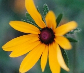 Black Eyed Susan (Rudbeckia)  Blooms in June through August. Features yellow petals with black center that attracts butterflies.                             Photo: Toadshade Wildflower Farm
