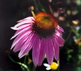 Eastern Purple Coneflower (Echinacea)  Blooms from July through October. Heat and drought tolerant with pink flowers and spiky centers that attract butterflies and hummingbirds.                           Photo: Toadshade Wildflower Farm
