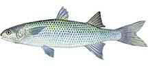 mulletfish