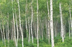 birch-tree1