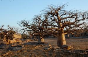 baobob dusk
