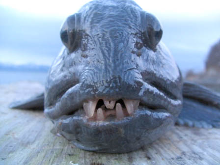 Wolf Fish - Face only a mother could love?