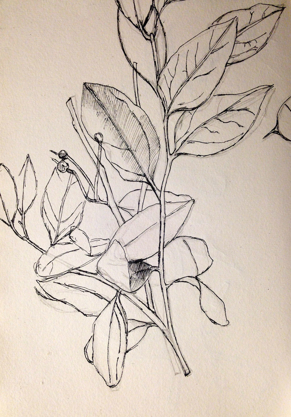 "Plant Study   Dimensions: 8""x5.5""  Medium: Graphite and Inc on Paper  Year: 2012"