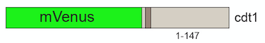 mVenus-cdt1-construct.png