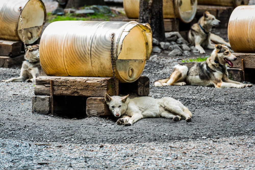 Sled Dogs at Iditadog in Seward, AK