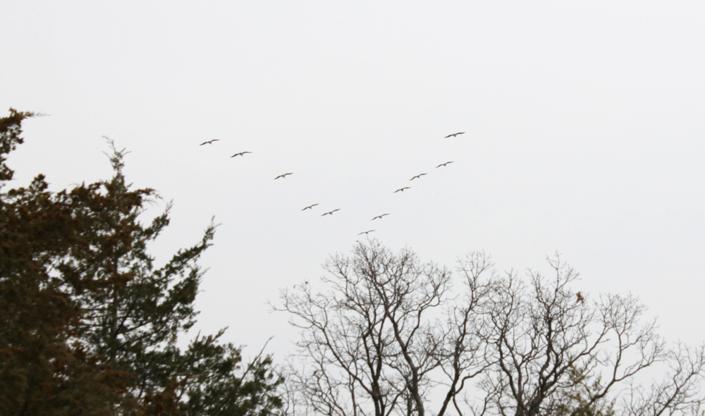 Hey it's a flying V! DUCKS! DUCKS! DUCKS! Oh wait, actually those are pelicans...