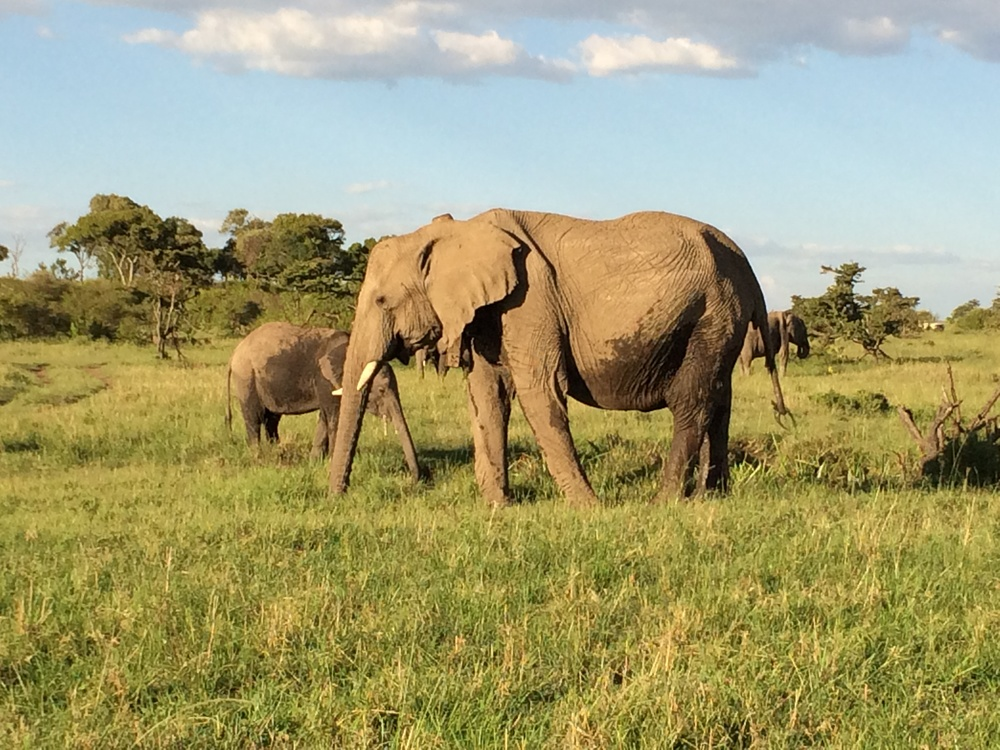 Elephants in Maisai Mara 4.JPG