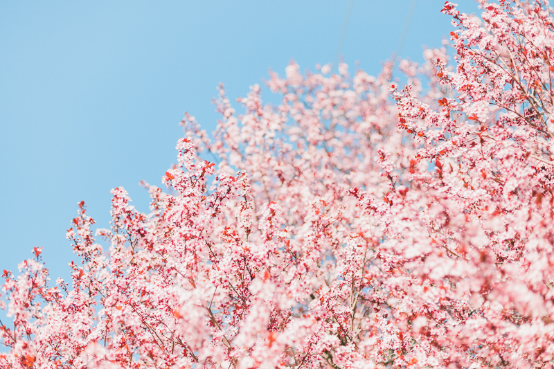 cherry-blossoms-37_26153962131_o.jpg