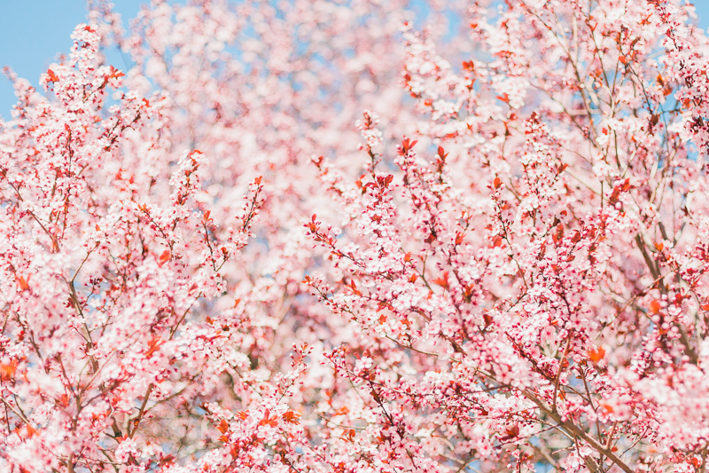 cherry-blossoms-35_25615501884_o.jpg