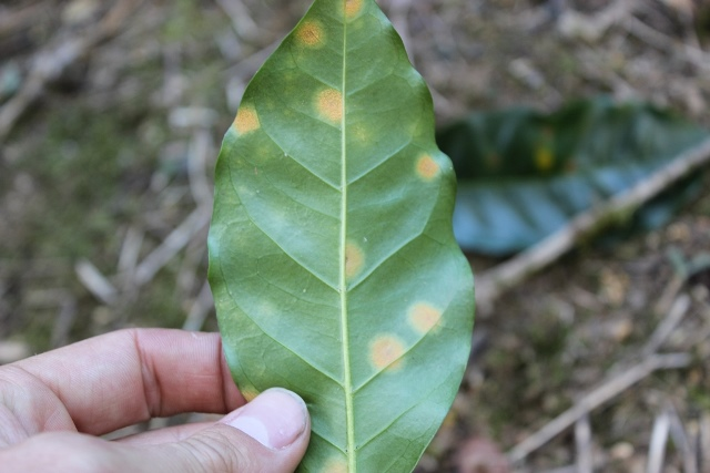 Challenges to success... Leaf rust or Roya, devastating coffee trees in Central America.jpg