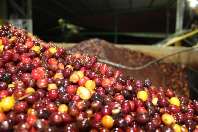 Coffee Cherries for Processing.jpg