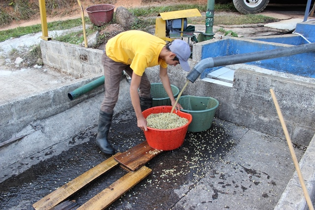 Extremely labour intensive, micromill washed coffee is collected ready to be spread on patios for drying.jpg