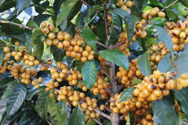 Ripe Yellow Bourbon varietal.jpg