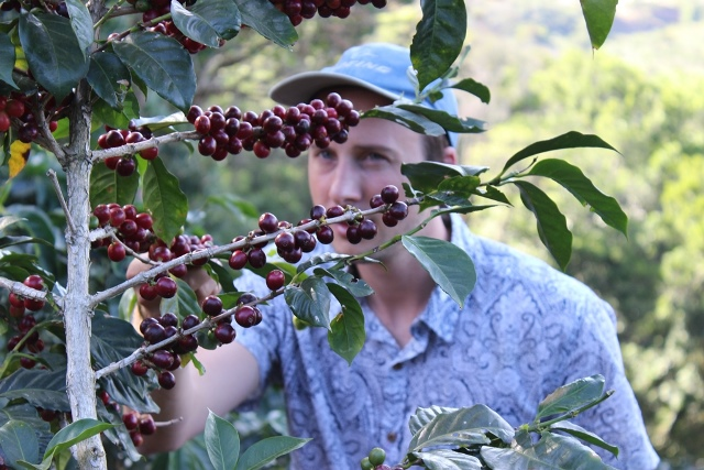 Rob picks ripe coffee cherries in Costa Rica.jpg