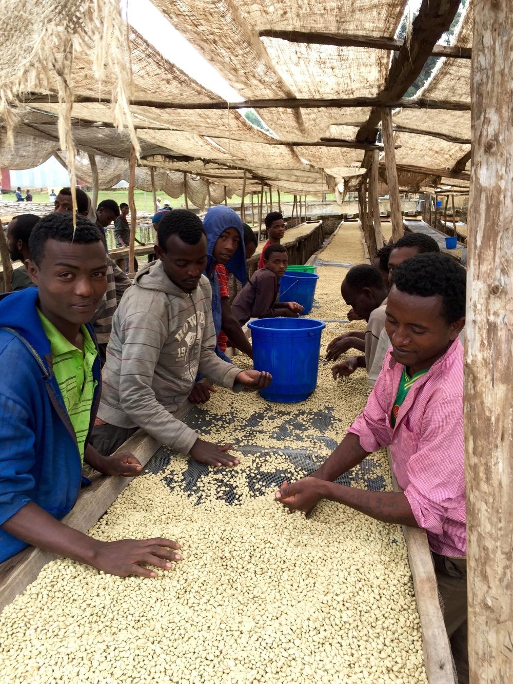 Ethiopian Safari - Sorting Beans