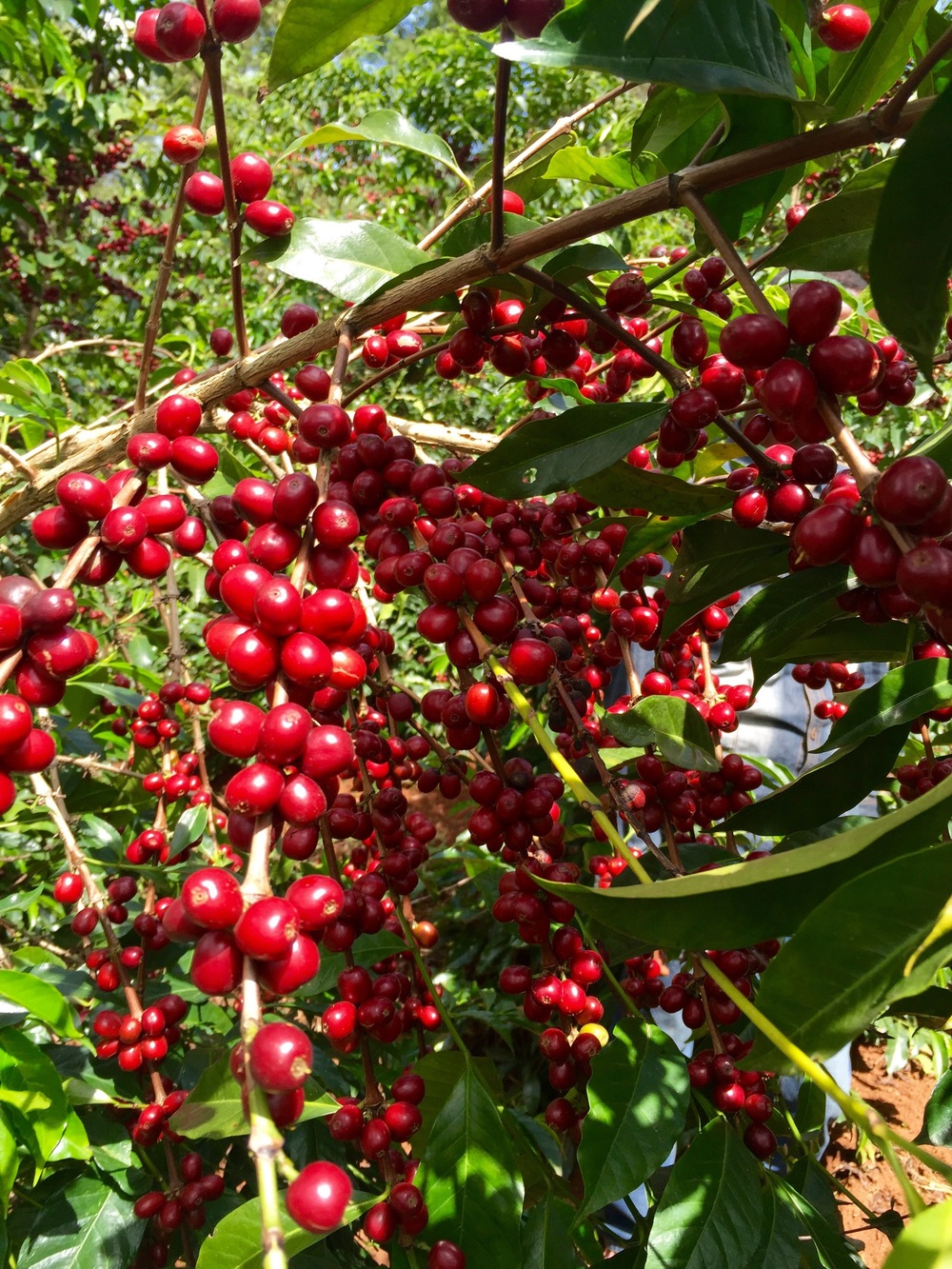 Ethiopian Safari - Coffee Cherries
