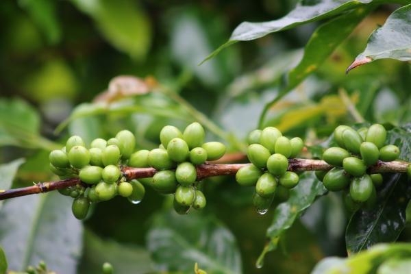 The Wahana Estate Cherries