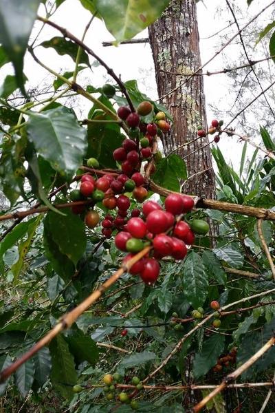 Kenta cherries