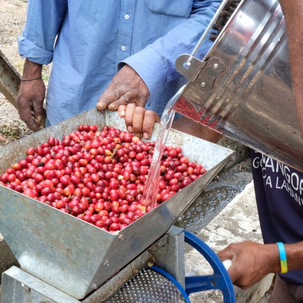 Project Raggiana Berries