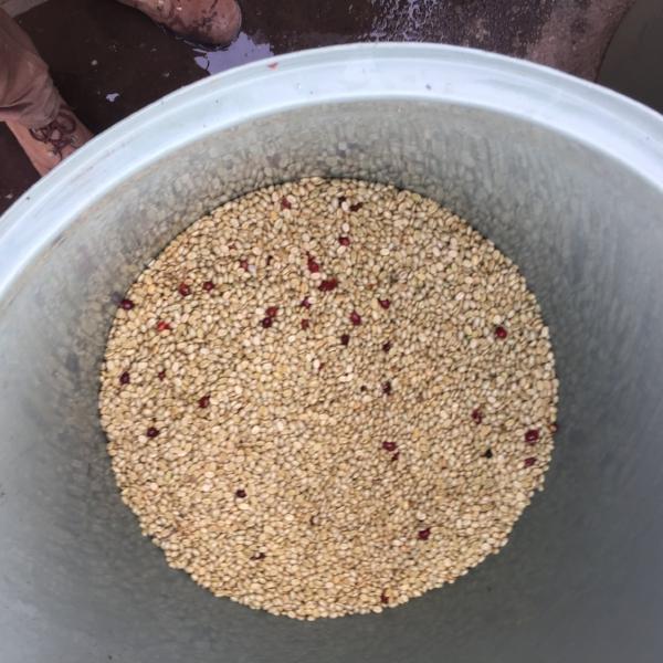 Project Raggiana Fermentation