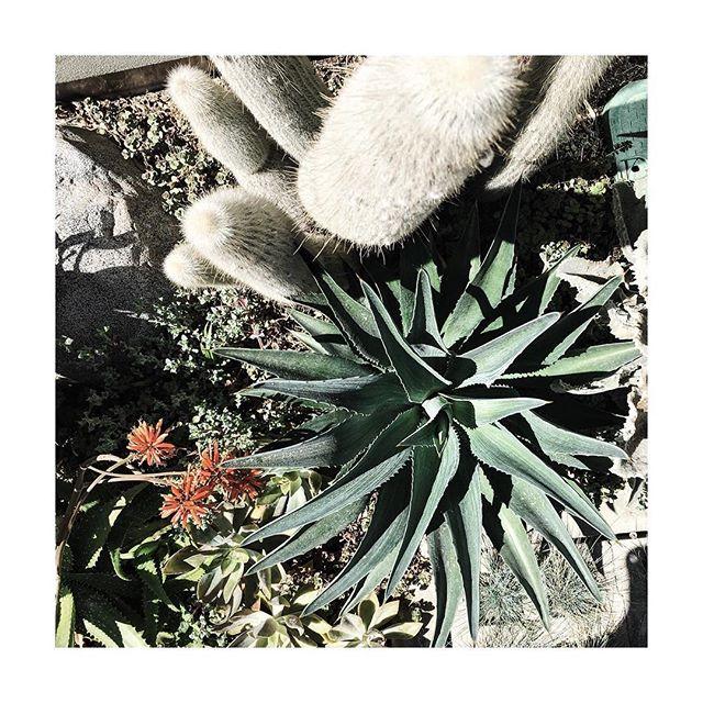 Sundays in LA #succulents #inspo #desertscaping