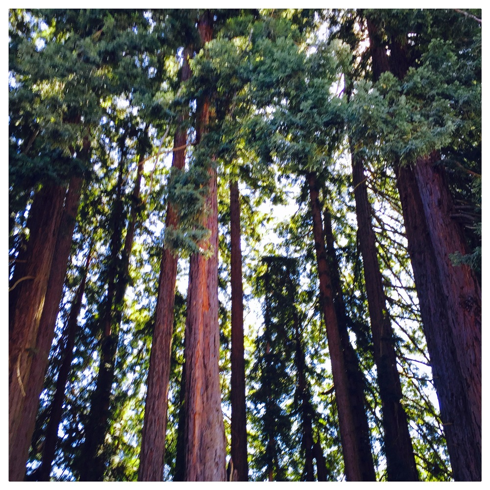 Redwoods of Mt. Madonna County Park