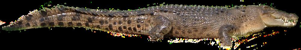 porosus2.png