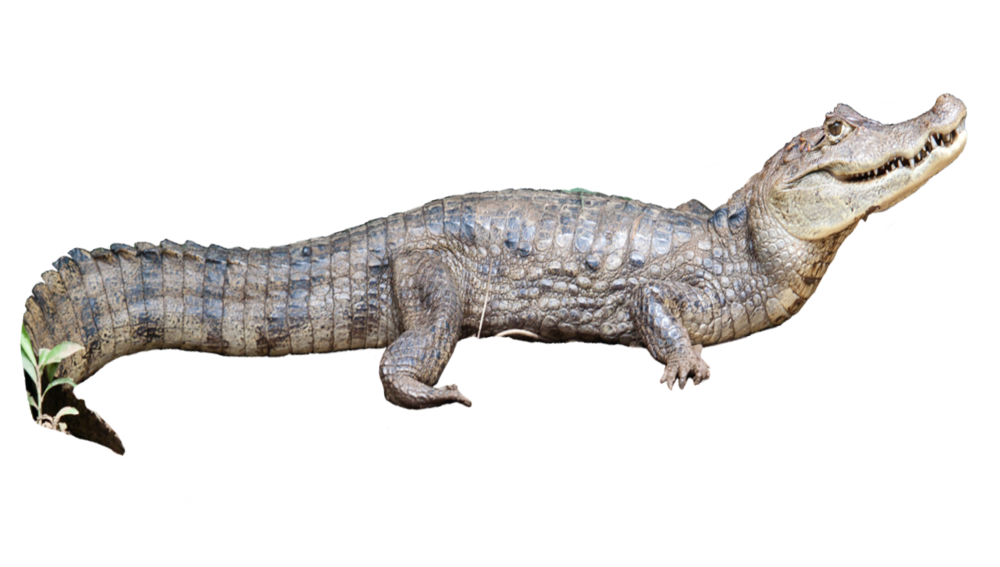 caiman_crocodilus2.png