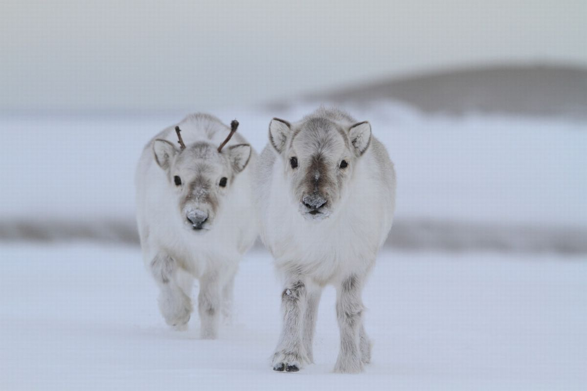 Baby Reindeer. Winter is awesome.